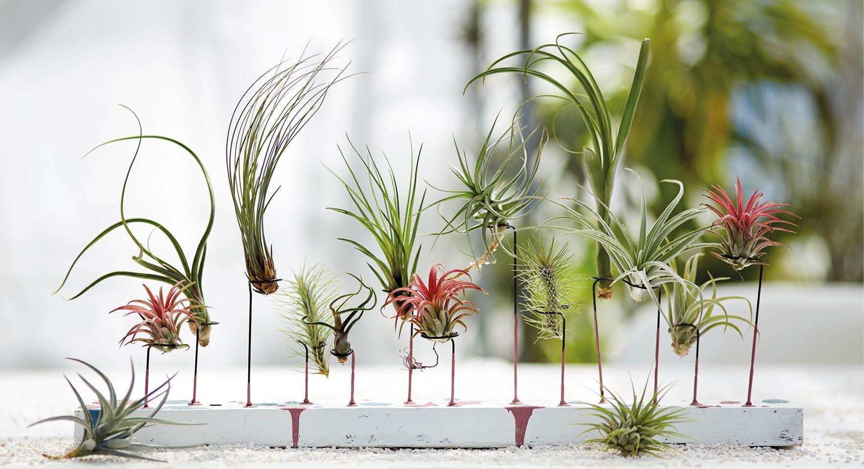Luftpflanzen kaufen