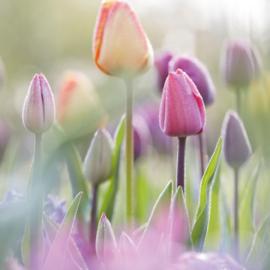 Flora Press - Tulpen