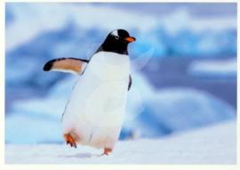 Okapia - Pinguïn
