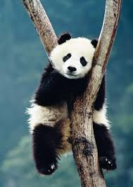 Getty Images - Panda