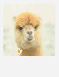 PolaCard - Alpaca