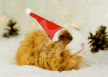 Getty Images - Cavia met kerstmuts