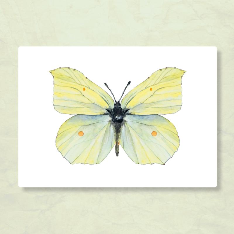 Veer Illustratie - Citroenvlinder