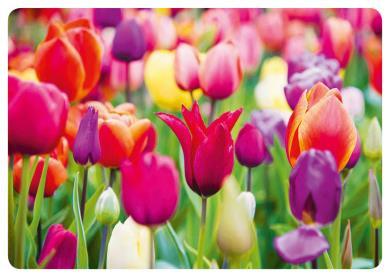 Dmitr86  - Tulpen