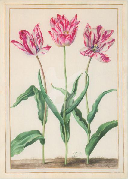 Johann Walter d. Ä - 3 Tulpen