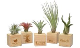Luchtplantje in houten kubus
