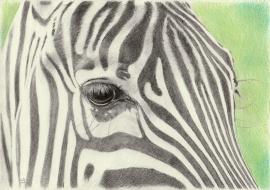 Zebra, de originele tekening