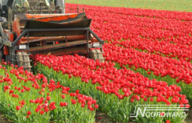 Foto behang Tulip Field Noordwand