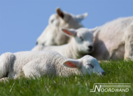 Foto behang Sheep Noordwand