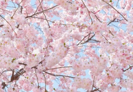 Foto behang Pink Blossoms 00155