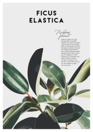 Botanische poster - Ficus Elastica