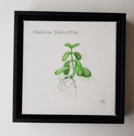 Crassula Portulasea, vetplantje