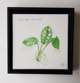 Monstera Adansonii, gatenplantje