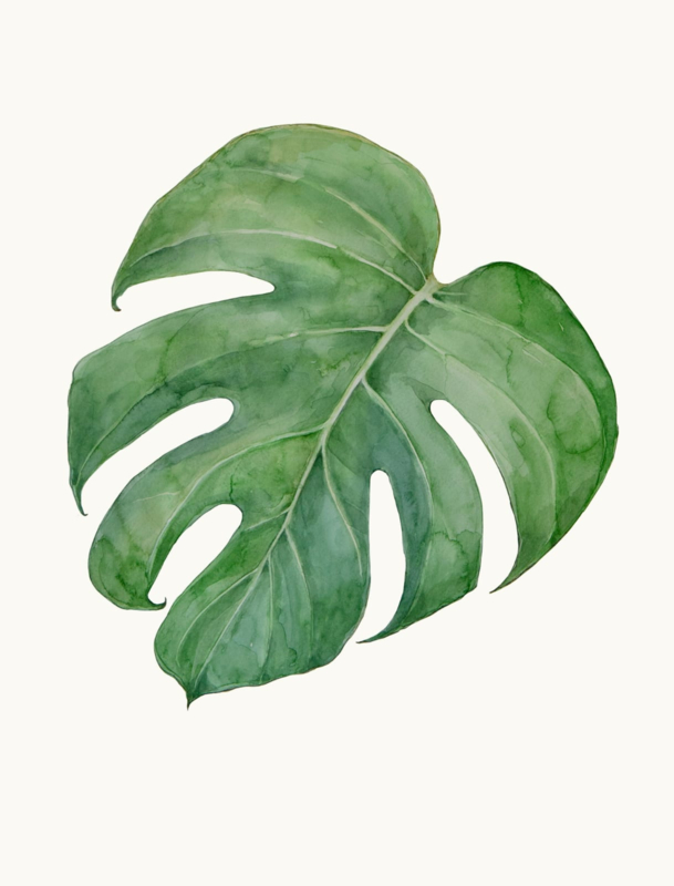 Philodendron Monstera Deliciosa I