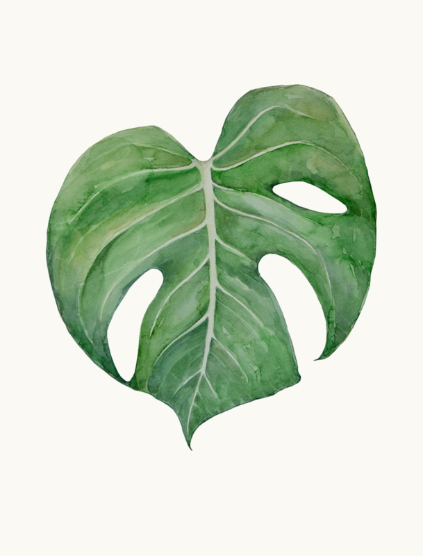 Philodendron Monstera Deliciosa II