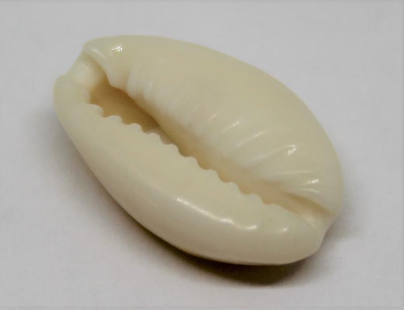 Kauri schelpje 13-16 mm