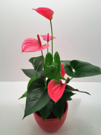 Anthurium incl pot