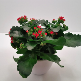 Kalanchoe incl pot.