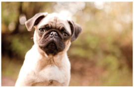 Bureaulegger hond (2707)