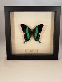 Papilio blumei Unpäpariert