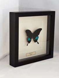 Papilio Karna Unpräpariert