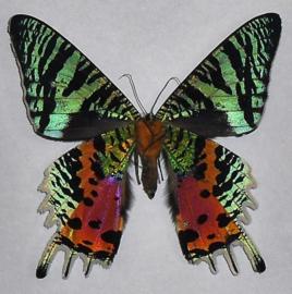 Schmetterlinge Unpräpariert