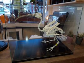 Skelet van een brilibis