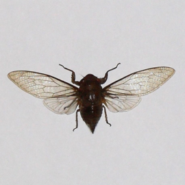 Cicadidae Sp.