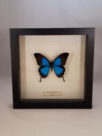 Papilio Ulysses 10 stuks ongeprepareerd
