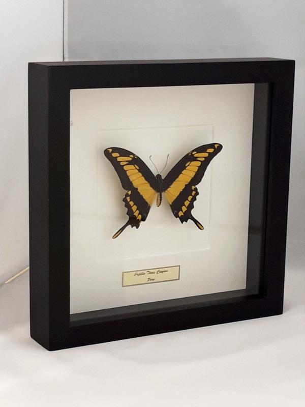 Papilio Thoas Unpräpariert