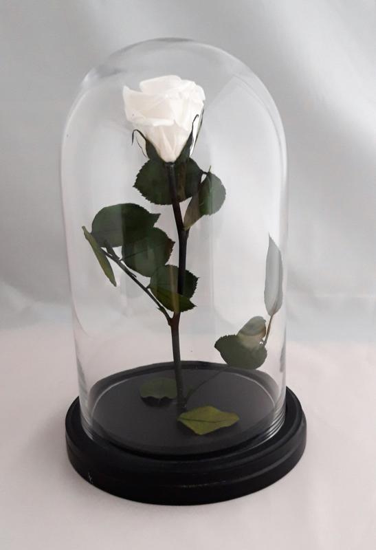 Präparierter Weiße Rose im große Glocke