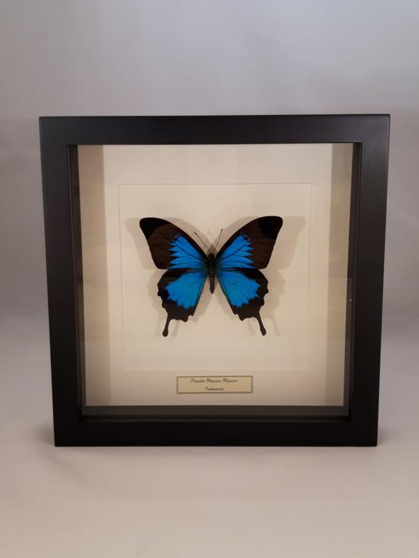 Papilio Ulysses Unpräpariert