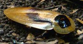 Doodshoofd kakkerlak per 7