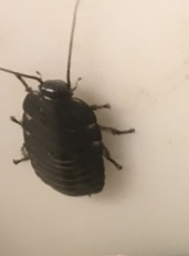 Sissendekakkerlak klein medium