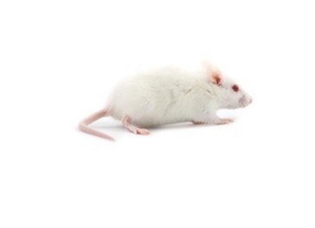 diepvries muis springer per 25 stuks 7/10 gr
