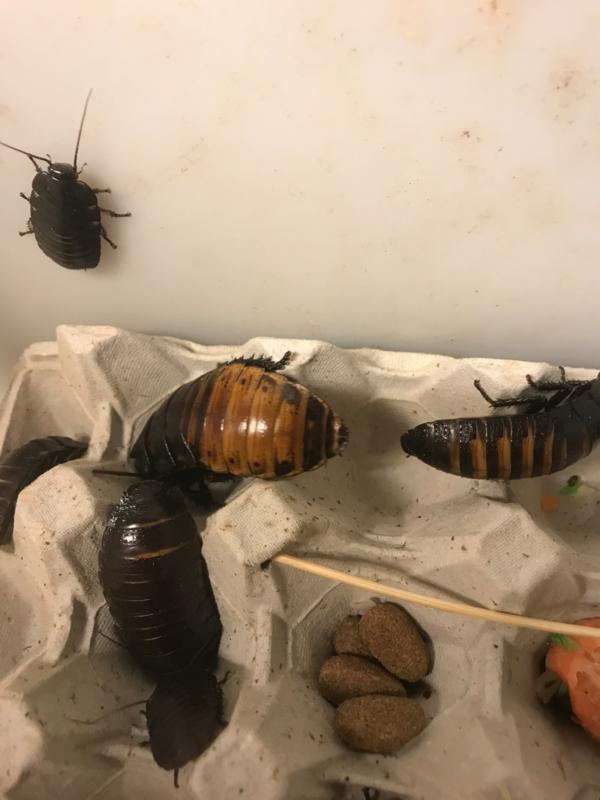 Sissendekakkerlak perstuk (4 tot 6 cm)