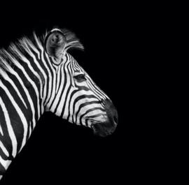Schilderij op canvas Zebra - 70x70 cm