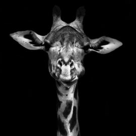 Schilderij op canvas Giraffe - 70x70 cm