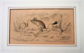 Antieke gravure Oliver Goldsmith A History of the Earth and Animated Nature Plaat VII Jerboa