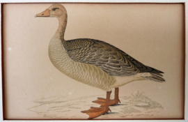 Antieke gravure FO Morris A History of British Birds Grey Lag Goose