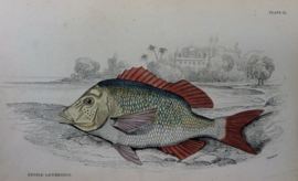 Antieke gravure William Lizars The Naturalists Library Edible Lethrynus