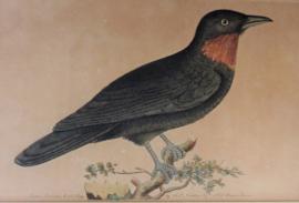 Antieke ingelijste gravure  FP Nodder The Naturalists Miscellany Purple Throated Fly catcher