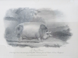 Antieke ingelijste gravure E Hacker naar WH Davis A Prize Boar