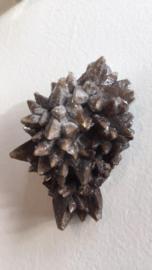 Dogtooth Calsiet (hondentand)