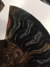 Ammoniet cleoniceras zwart  set