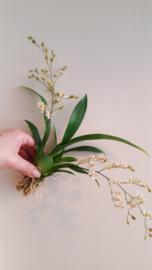 Oncidium Tiny Twinkle max 30cm 1-5 tak op of zonder kurk Geel en Wit