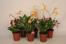Masdevallia Oranje, Geel, Paars, Roze