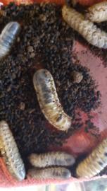 Dola larven