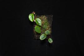 Stek Begonia