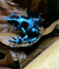 Dendrobates Auratus Blue (blauw zwart)